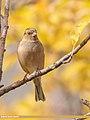 Chaffinch (Fringilla coelebs) (51108849940).jpg
