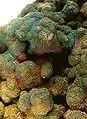 Chalcopyrite-Copper-pas-60d.jpg