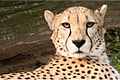 Cheetah at the Smithsonian National Zoological Park.jpg