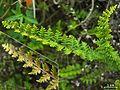 Cheilanthes sp. - Flickr - pellaea (1).jpg