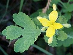 Chelidonium majus flower leaf.jpg