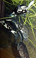Chelodina longicollis 4zz.jpg