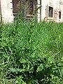 Chenopodium bonus-henricus sl5.jpg