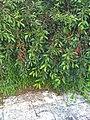 Cherries by the Pool - panoramio.jpg