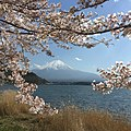 Cherry Blossom at Northern shore of Kawaguchiko lake 19 April 2016 - panoramio.jpg