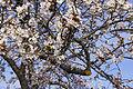 Cherry Blossoms (13741231704).jpg