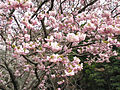 Cherry blossoms of the Yokowa-Sakura01.jpg