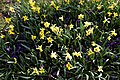 Chigwell Meadow Essex England - daffodils and crocuses 1.jpg
