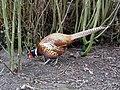 Chinese Ring Necked Pheasant (4481773223).jpg