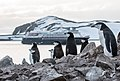 Chinstrap Penguins Half Moon Island Antarctica 9 (40371515083).jpg