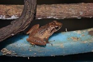 Romer's tree frog - Image: Chirixalus romeri