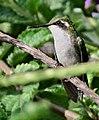 Chlorostilbon melanorhynchus (Esmeralda occidental) - Hembra - Flickr - Alejandro Bayer (5).jpg