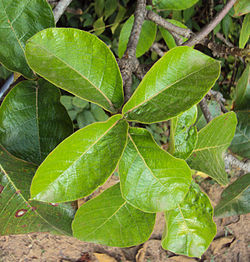 Chonemorpha fragrans - Franginpani vine leaves.jpg
