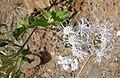 Chromolaena odorata, the Triffid Weed (9206768188).jpg