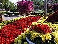 ChrysanthemumMorifolium12.jpg