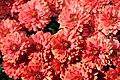 Chrysanthemum Camina 0zz.jpg