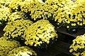 Chrysanthemum Padre Yellow 1zz.jpg