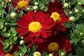Chrysanthemum Regina 1zz.jpg