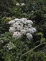 Cicuta maculata - Water Hemlock.jpg