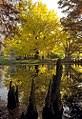 "Cincinnati - Spring Grove Cemetery & Arboretum ""Autumn Tree Reflection & Cypress Tree Flares"" (6328193800).jpg"