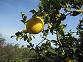 Citrus x limon, lemon on tree, Coín, Spain.jpg