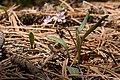 Claytonia lanceolata - Flickr - aspidoscelis (1).jpg