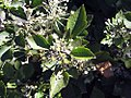 Clematis heracleifolia 1zz.jpg