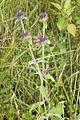 Clinopodium vulgare coteau-charteves 02 12072007 3.jpg