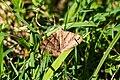 Clover looper moth (28674602838).jpg