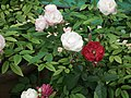 Cluster flowered rose from Lalbagh flower show Aug 2013 8480.JPG