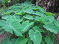 Colocasia esculenta - പൊടിച്ചേമ്പ് 04.JPG