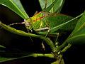 Colorful Katydid (Tettigoniidae) (15874932421).jpg