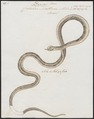 Coluber nattereri - 1734-1765 - Print - Iconographia Zoologica - Special Collections University of Amsterdam - UBA01 IZ12000017.tif