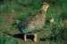 Columbian Sharp-tailed Grouse (male).png