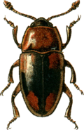 Combocerus glaber Jacobson.png