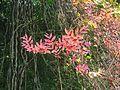 Combretum razianum young leaves at Kunnathurpadi 01.jpg
