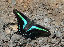 Common Bluebottle-Graphium sarpedon teredon.JPG