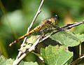 Common Darter. Sympetrum striolatum. Immature Female - Flickr - gailhampshire (1).jpg