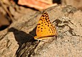 Common Leopard Phalanta phalantha by Dr. Raju Kasambe DSCN0554 (6).jpg