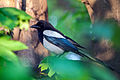 Common Magpie Lodz(Poland)(js)02.jpg