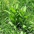 Common Milkweed (30504339674).jpg