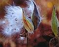 Common Milkweed Seed Pods (15866476541).jpg