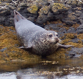 Common Seals crop 2.png