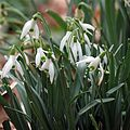 Common Snowdrop - Flickr - treegrow (4).jpg