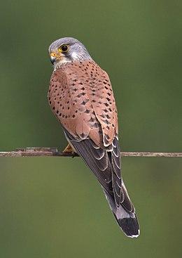 Tårnfalk Falco tinnunculus