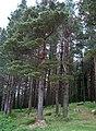 Coniferous woodland east of Muckross Lake - geograph.org.uk - 457862.jpg