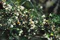 Conservatoire botanique national de Brest-Asparagus fallax-15 07 03-Philweb-06 (19414837895).jpg