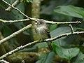 Contopus virens (Atrapamoscas oriental) (14033611542).jpg