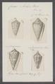 Conus archon - - Print - Iconographia Zoologica - Special Collections University of Amsterdam - UBAINV0274 086 06 0016.tif