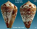 Conus delanoyae 1.jpg